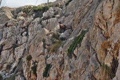 Wild goat trapped behind the net in the mountains on the way to the Formentor lighthouse in Mallorca royalty free stock photo