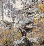 Wild Goat. Trekking around Namche Bazaar and views to Everest Sagamatha national Park Nepal Royalty Free Stock Photo