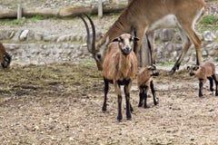 Wild goat Royalty Free Stock Photo