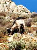 Wild goat wanders in the national park. royalty free stock images