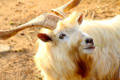 Wild Goat, Yomitan Village, Okinawa Japan Royalty Free Stock Photography