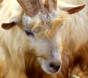 Wild Goat, Yomitan Village, Okinawa Japan. This photo was taken December 2010. A wild goat portrait stock image