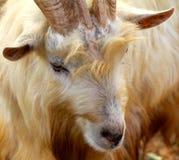 Wild Goat, Yomitan Village, Okinawa Japan Stock Image