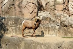 Zoo in Chapultepec Park in Mexico city. A wild goat in the zoo of the Chapultepec Park situated in the center of CDMX Stock Image