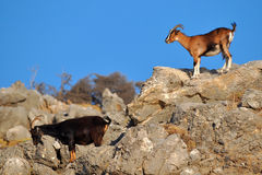 Wild goats. Photo taken in mountains on island Rhodes, Greece Royalty Free Stock Photography