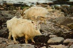 Wild Goats Royalty Free Stock Photos