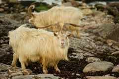 Wild Goats Stock Images