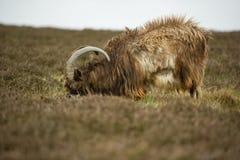 Wild Goats Stock Image