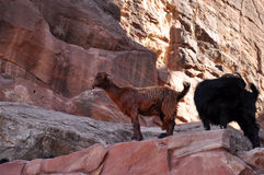 Wild goats Stock Photography