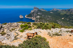 Wild Goats in Cap Formentor Mallorca. Wild Goats in Cap Formentor peninsula, Mallorca, Balearic Islands, Spain Royalty Free Stock Images