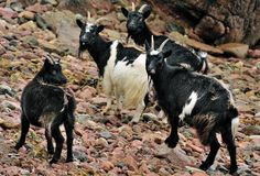 Wild goats (Capra aegagrus hircus) Scotland Royalty Free Stock Photos