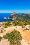 Wild Goats at the Formentor Peninsula in Mallorca Spain. Wild Goats at the Formentor Peninsula in Mallorca, Balearic Islands, Spain Royalty Free Stock Images