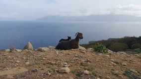 Wild goats. Wild goat mother with its baby Stock Photos