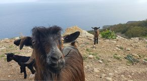 Wild goats. Wild goat mother with its two babies Stock Images