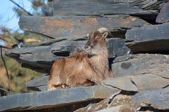 Wild goats Royalty Free Stock Image