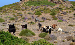Wild goats graze Stock Photography