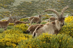 Wild goats grazing on yellow broom Stock Image