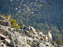 Wild goats. Group of wild goats in the area of the Sierra de Guadarrama. Spain Stock Images