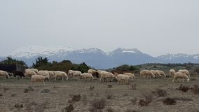 Wild goats. Group of wild goats  in the mountains of Crete Royalty Free Stock Images