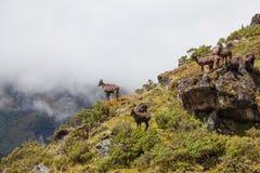 Wild goats. In Himalaya mountains Stock Photo