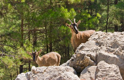 Wild goats kri-kri in Samaria Gorge. Royalty Free Stock Images
