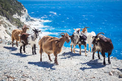 Wild goats Stock Photos