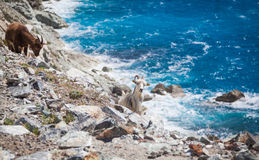 Wild goats. Wild living goats at Cap Corse Royalty Free Stock Photos