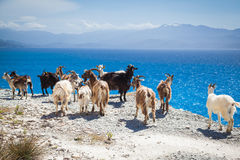 Wild goats Royalty Free Stock Image