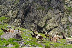 Wild goats in the mountains Royalty Free Stock Photography