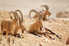 Wild goats in nature. Summer day royalty free stock photos