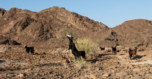 Wild goats in the Omani desert Stock Images