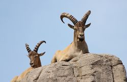Wild goats on rock stock images