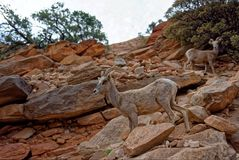 Wild goats on rocks. Wild goats standing on the rocks in Zion National Park, Utah royalty free stock photo