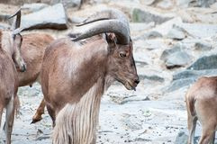 Wild goat exposing his tongue among the other ones, standing on rocks stock image
