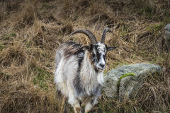 Wild Goats in Scotland. Wild Goats in the Galloway Forest Park in Scotland royalty free stock images
