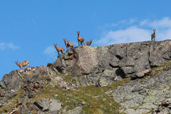 Wild goats standing on the crest of the mountain Royalty Free Stock Images