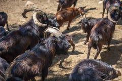 Wild goats in the Tbilisi zoo, fauna Stock Photo