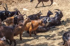 Wild goats in the Tbilisi zoo, fauna Stock Images