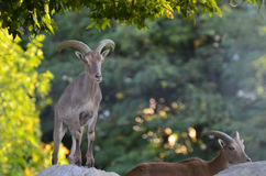 Wild goats on top of a hill Royalty Free Stock Photography