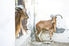 Wild goats in Tozeur Zoo. Two wild african goats kept in a cage in a zoo in Tozeur, Tunisia Royalty Free Stock Photos