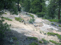 Wild Goats in Zion National Park In Utah USA Royalty Free Stock Photos