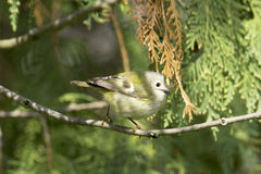 Wild goldcrest  / Regulus regulus Royalty Free Stock Image