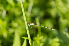 Wild golden grey dragonfly anax imperator Sympetrum Fonscolombii Stock Image