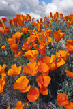 Wild Golden Poppies Royalty Free Stock Photography