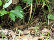 Free Wild Golden Tegu Lizard In A Forest In Tropical Suriname South-America Stock Photos - 151803783