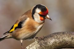 European goldfinch bird close up. Wild goldfinch bird portrait close up native to Europe also known as Carduelis carduelis. The goldfinch has a red face and a Stock Image