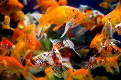 WIld goldfish in an aquarium. A large group of swimming goldfish in an aquarium - lots of motion and blurring some fish in focus - most are not Royalty Free Stock Image