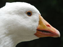 Wild Goose Royalty Free Stock Images