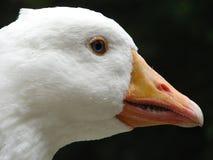 Wild Goose. Closeup of a white, wild goose royalty free stock images