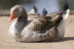 Wild Goose Stock Photos